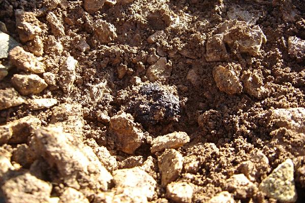 truffe-noire-cavage