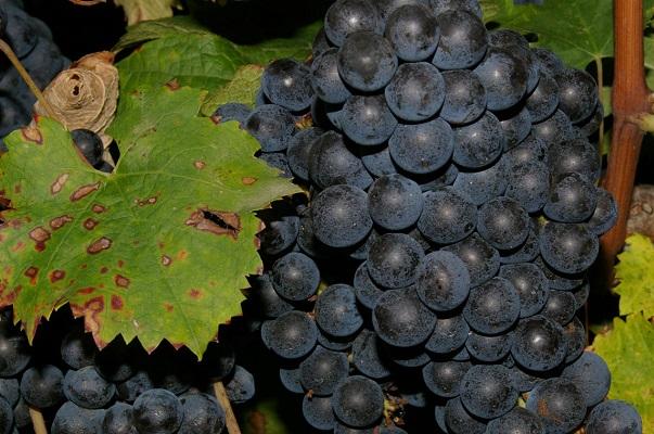 raisins-saint-emilion