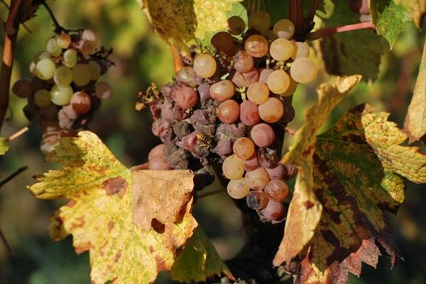 Sauternes et pourriture noble La Gourmet Box coffret cadeau vin
