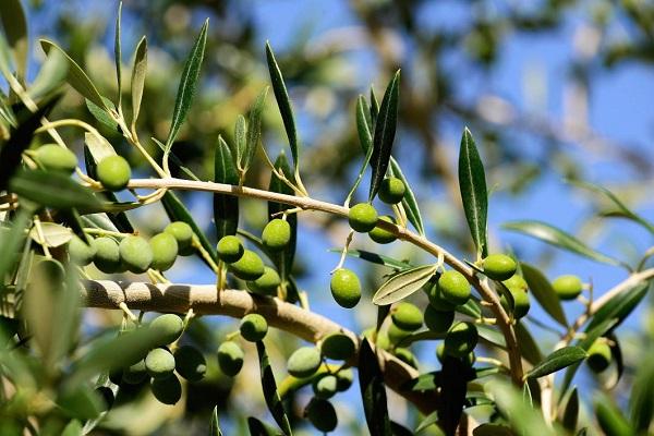 Olive verte a maturite La Gourmet Box coffret cadeau gourmand huile d olive