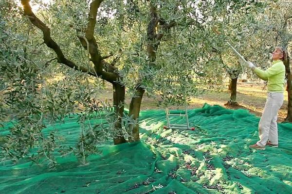 Recolte manuelle traditionnelle olives La Gourmet Box coffret cadeau Olive Box