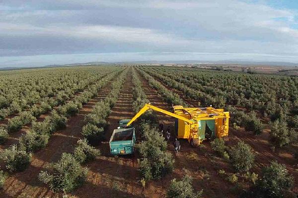 Récolte industrielle olives La Gourmet Box coffret huile olive