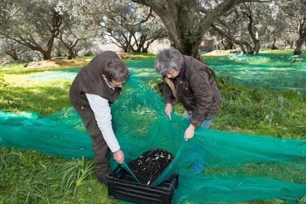 Recolte filet olives noires La Gourmet Box coffret huile olive